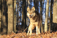 Hungry wolf. Hungry timber wolf licking his chops Stock Image
