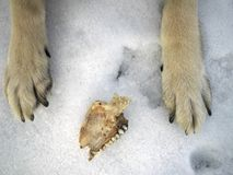 Hungry Wolf In Winter. Overhead shot of a dog or wolf legs with a piece of jar between them, winter scene Stock Images