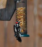 Hungry Woodpecker Stock Photo