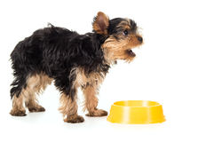 Hungry Yorkshire terrier asks food Royalty Free Stock Image