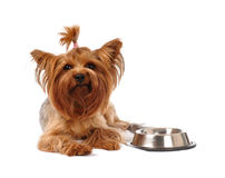 Hungry yorkshire terrier Royalty Free Stock Photo