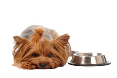 Hungry yorkshire terrier portrait Stock Photography