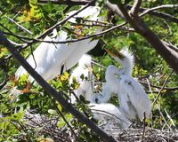 Hungry young Egret chicks in nest. Three hungry little fuzzy Egret chicks in nest with Mother begging for food with beaks open during breeding season in Florida Royalty Free Stock Photography
