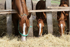 Hungry young horses eating hay on the farm Stock Images