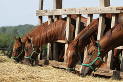 Hungry young saddle horses eating hay on the farm Royalty Free Stock Photos