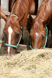Hungry young saddle horses eating hay on the farm Stock Image