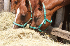 Free Hungry Young Saddle Horses Eating Hay On The Farm Stock Images - 87883224