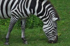 Hungry Zebra Stock Photo