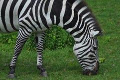 Hungry Zebra Stock Photo