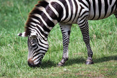 Hungry zebra Stock Photos