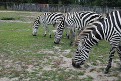 Hungry zebras Stock Photos