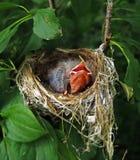 Hungy newborn finch Stock Image