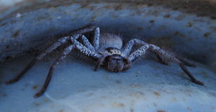 Hunstman蜘蛛 库存图片