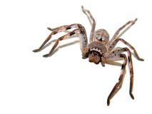 Hunstman. A large, hairy huntsman spider, on a white background Royalty Free Stock Photos
