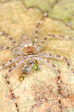 Hunstman spider Royalty Free Stock Images