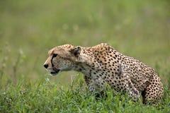 hunt гепарда идя к Стоковое Изображение RF