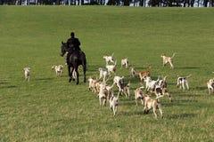 hunt лисицы Стоковое Изображение RF