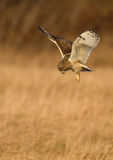 The hunt. Short-eared owl, hunting the long grass Stock Photography