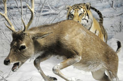 Hunt. Aggressive tiger is hunting in wildlife snapshot Stock Photo