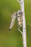 Hunt. A big robber fly catches a cicada Stock Photos