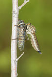 Hunt. A big robber fly catches a cicada Stock Images
