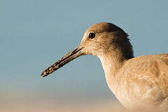 Hunt for breakfast. Willet with sand covered beak slightly open Royalty Free Stock Images