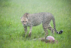 After the Hunt. A cheetah in the Masaai Mara circles its kill Stock Photography