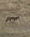 On the hunt. Coyote hunting on the open prairie Royalty Free Stock Photos