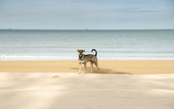 Hunt dog on the beach looking to camera Royalty Free Stock Image