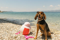 Hunt dog on the beach wearing sunglasses portrait. Stock Images