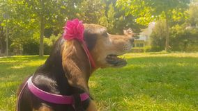 Hunt dog portrait wearing a rigid band with flower. stock video footage