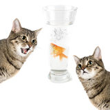 Hunt for gold fish. Two cats and gold fish in a bowl isolated on white Stock Photos