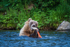 On the Hunt. A Grizzly Bear feeds on a salmon carcass in an Alaskan stream Stock Photo