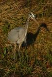 hunt heron niebieski świetnie obraz stock