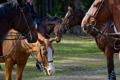 Hunt horses Stock Photo