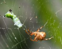 The hunt and the hunted. A spider just finished wrapping the silk around its victim Stock Image