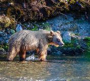 On the Hunt. A lone female Grizzly Bear looks for salmon along a river bank in Alaska Royalty Free Stock Photography