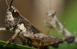 Hunt Mantis стоковое фото