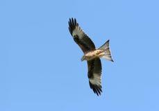 hunt orła fotografia stock