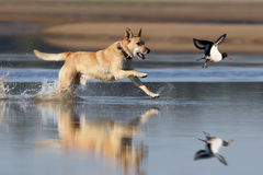 Hunt. Running dog hunting on oystercatcher Royalty Free Stock Photos
