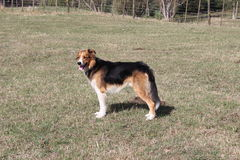 Free Huntaway Dog Stock Photo - 39712530