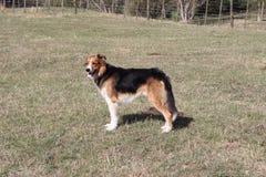Huntaway dog. A farm dog in field awaiting instruction Stock Photo