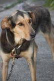 Huntaway dog Royalty Free Stock Images