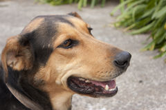 Huntaway farm dog. A happy Huntaway farm dog close up Royalty Free Stock Photography