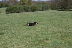 Huntaway pies ma dobrego czas w Angielskiej łące obrazy royalty free