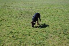 Huntaway pies 11 ma dobrego czas w Angielskiej łące zdjęcie stock