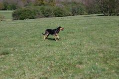 Huntaway pies 2 ma dobrego czas w Angielskiej łące zdjęcia royalty free