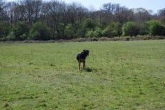 Huntaway pies 12 ma dobrego czas w Angielskiej łące zdjęcia stock