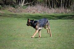 Huntaway pies 9 ma dobrego czas w Angielskiej łące fotografia stock