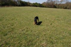 Huntaway pies 14 ma dobrego czas w Angielskiej łące obraz stock